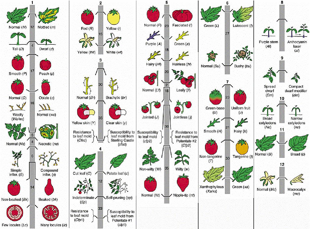 Carte génétique de la tomate